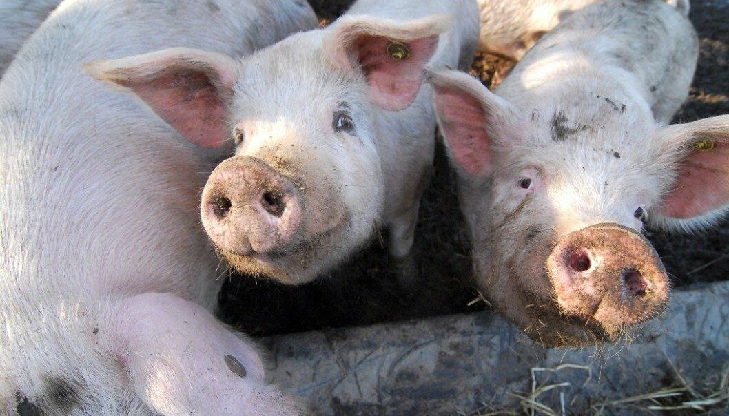 Both pigs and humans can be infected with avian influenza. Previous studies have suggested that pigs were more susceptible to the virus than humans, but now a Danish study now shows that the two are infected in the same way (Photo: Colourbox)