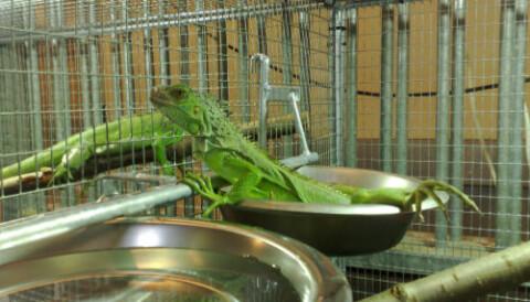 Iguana faeces reveal stress