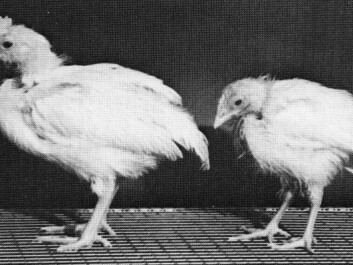 Silicon's beneficial effect on health is illustrated by these two chickens. Both four weeks old, but whereas the chicken to the left has enjoyed a diet with high levels of silicon, the one to the right has been given a diet with low levels of silicon. (Photo: Carlisle, 1972)