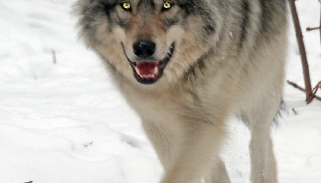 Wolves are highly competent – relatively more so than the criminals we often refer to as lone wolves. Psychologist Knut Sturidsson thinks the term is inappropriate for the human oddballs who commit atrocities. (Photo: Colourbox)