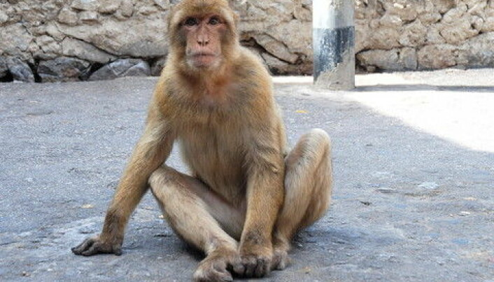 'Loser monkeys' have poor immune systems