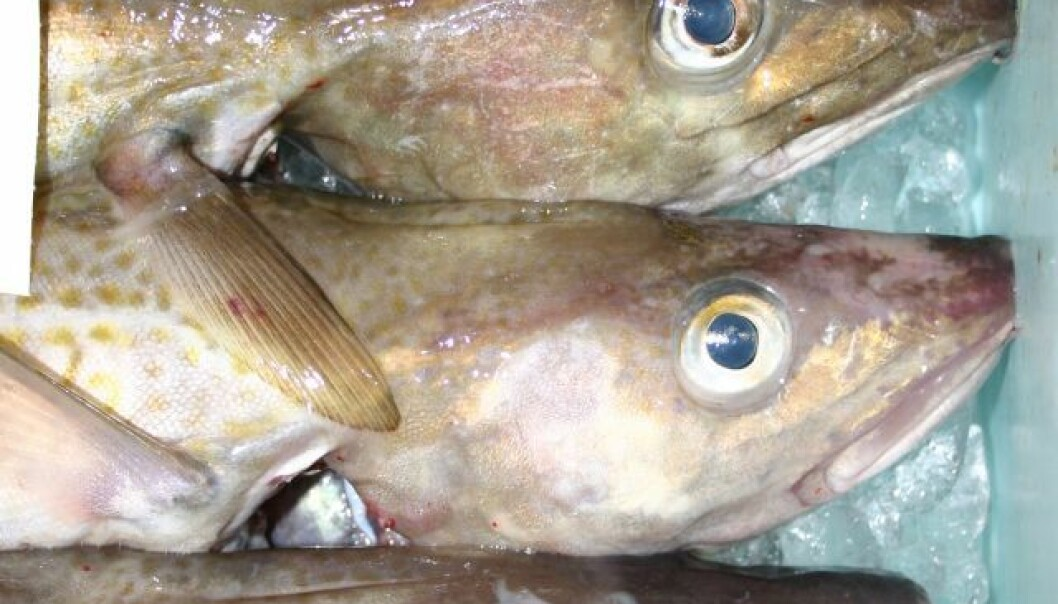 It's not possible to see with the naked eye whether a cod comes from the Baltic Sea or the North Sea. But a new method makes it possible to trace the origin of the fish through genetic analysis. (Photo: Finn Sivebæk)