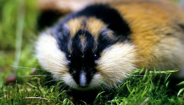 Little lemmings are monitored from space