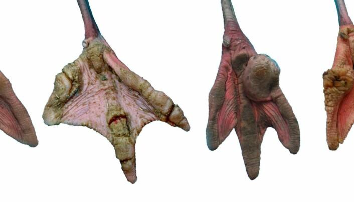 Mystery: captivity damages flamingo feet
