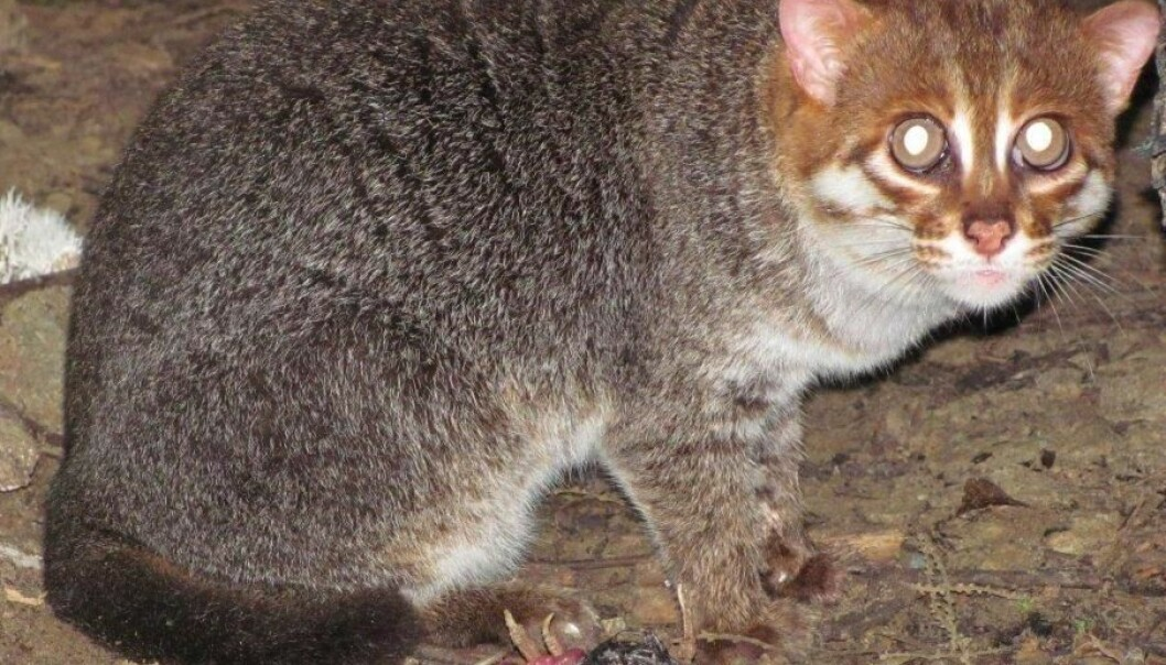 In connection with its project with tapirs in Malaysia, Copenhagen Zoo has studied two flat-headed cats in semi-natural conditions in a fenced area of the jungle. (Photo: Copenhagen Zoo)