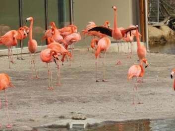 The flamingo section of Copenhagen Zoo has almost no concrete surfaces. There is no grass either because that's not good for the birds' feet. On the other hand, there is plenty of sand and soil. The pink birds are free to decide whether they want to stand on one leg in salt or fresh water. This enables zoo staff to study the flamingos' preferences, and whether one has a different effect to the other. (Photo: Jeppe Wojcik)
