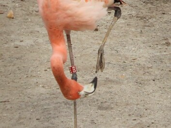 The mystery of the bad flamingo feet hasn't been fully solved yet. But while scientists continue in their search, zoos can take Adriana Nielsen's studies into consideration when designing aviaries. (Photo: Jeppe Wojcik)