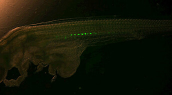 Creating sterile farmed fish