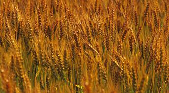 Hybrid fungus threatens agriculture