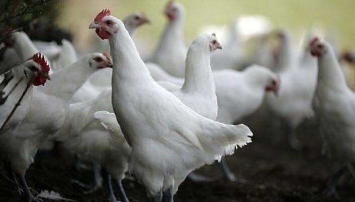 No more salmonella in Danish poultry