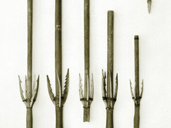 These bird spears became part of the National Museum's collection in the 17th or 18th century. Midway along their shaft are three or four side prongs like the one found at Kongens Nytorv. The bird spear was launched using a spear thrower and was located at the bow end of the kayak's deck while not in use. The complete spear is about one-and-a-half metres long. (Photo: National Museum.)