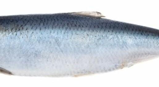 Prospecting herring waste