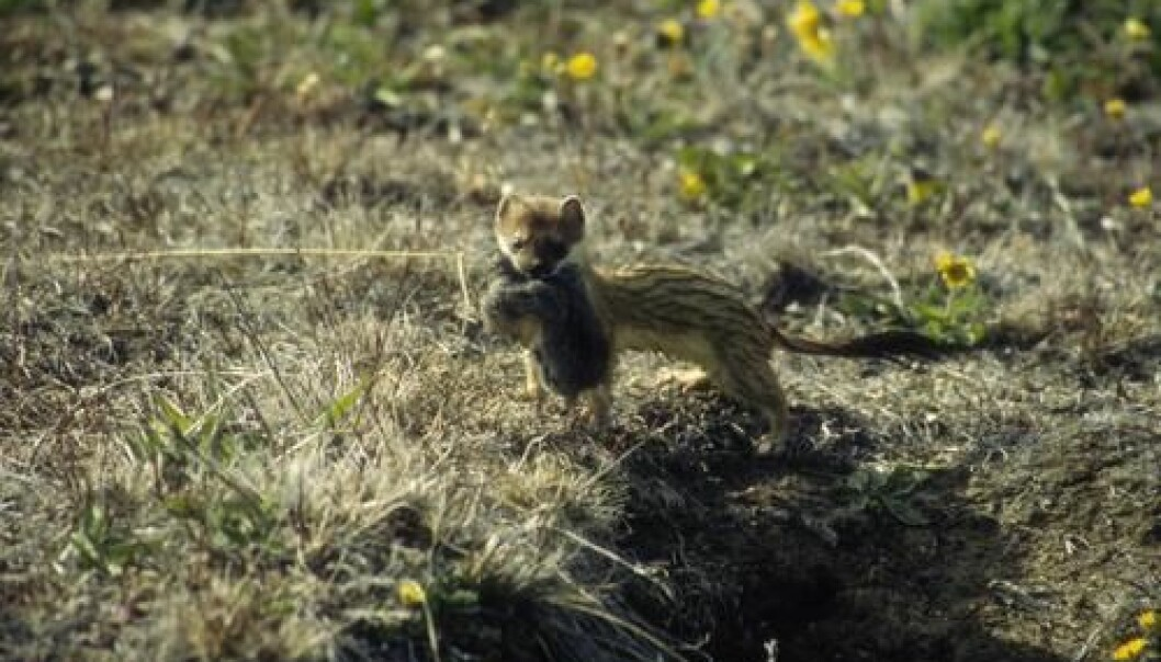 A stoat has just caught a lemming. In the past 12 years, however, there has been a shortage of food for the stoat as the number of lemmings in Northeast Greenland has reduced dramatically. (Photo: Niels Martin Schmidt)