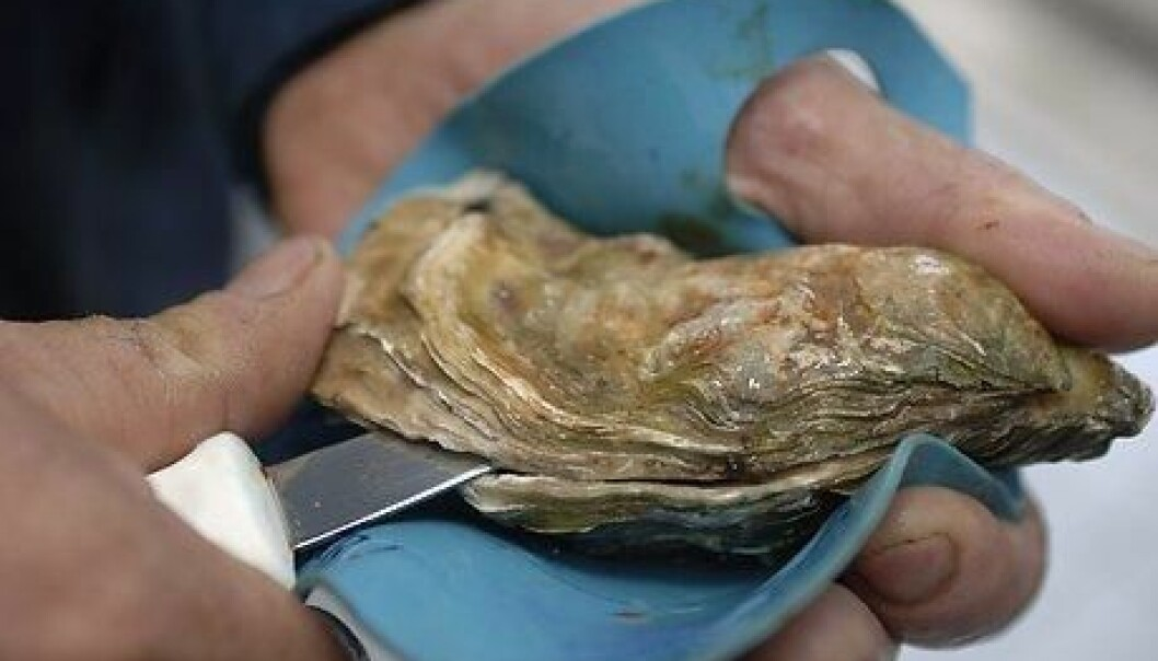 They seem to be nothing more than a bit of slime in a shell – but oysters are highly adapted survivors in one of the most changeable environments in the seas around us. Oysters have developed genes that enable them to deal with everything from changing temperatures to heavy metals and harmful bacteria. (Photo: Colourbox)