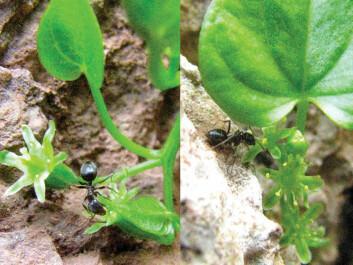 Ants ensure that the female plant (pictured left) receives pollen from the male plant (pictured right). (Photo: García et al.)