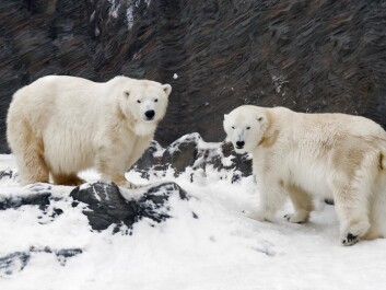 Great consideration must be given to polar bears and other threatened Arctic wildlife when 'raw materials fever' hits the Arctic. (Photo: Colourbox)
