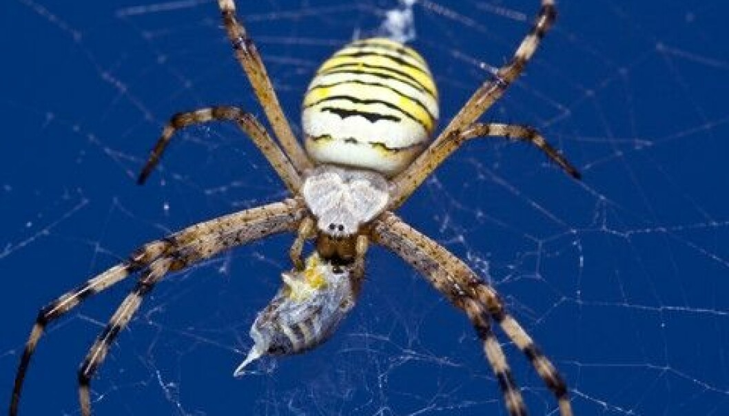 Nasty spiders like this one are of little practical value to us humans. When we still want to make sure they survive as a species, we do it based on a religious ethic, a Danish theologian argues in a new book. (Photo: Colourbox)