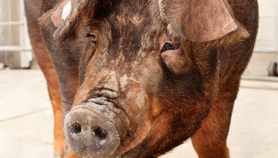 Long pigs with more vertebrae are an advantage to pig farmers because it gives them more pork to sell. (Photo: L. Brian Stauffer)
