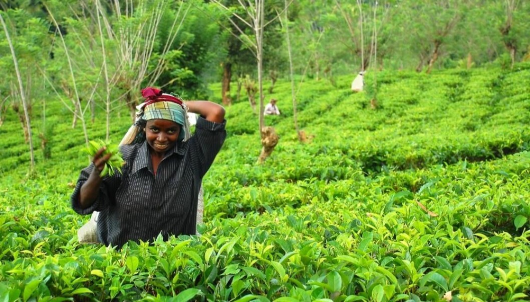 Young Tamil women plucking tea in Sri Lanka. Tea plants are often sprayed with pesticides that kill insects and weeds, but in the Anuradhapura district, where Flemming Konrad's pesticide container is being tested, the farmers mainly cultivate rice and vegetables. They harvest their crops two or three times a year and often they spray their fields once a week, because pesticide-sellers recommend it. (Photo: Colourbox)