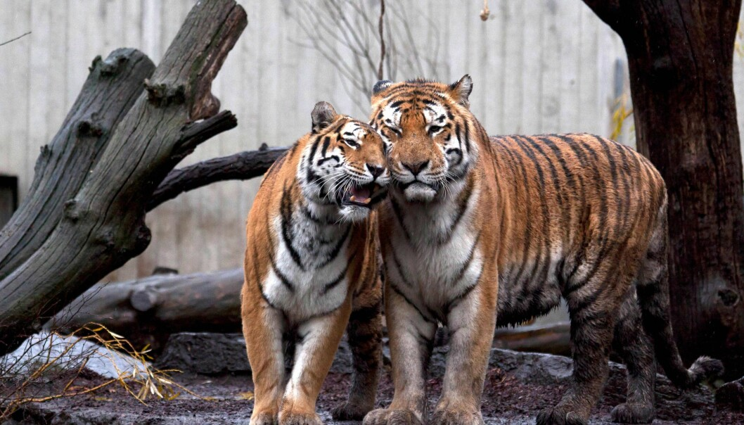 The three tigers in Copenhagen Zoo are members of the Siberian tiger subspecies (Panthera tigris altaica). They are part of a highly threatened species. No more than 400 of these tigers are thought to live in the wild today. (Photo: Frank Rønsholt)
