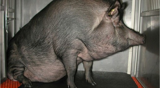 Protein can cause lifestyle diseases in fat pigs