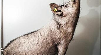 Cloned pigs help fight human killer disease