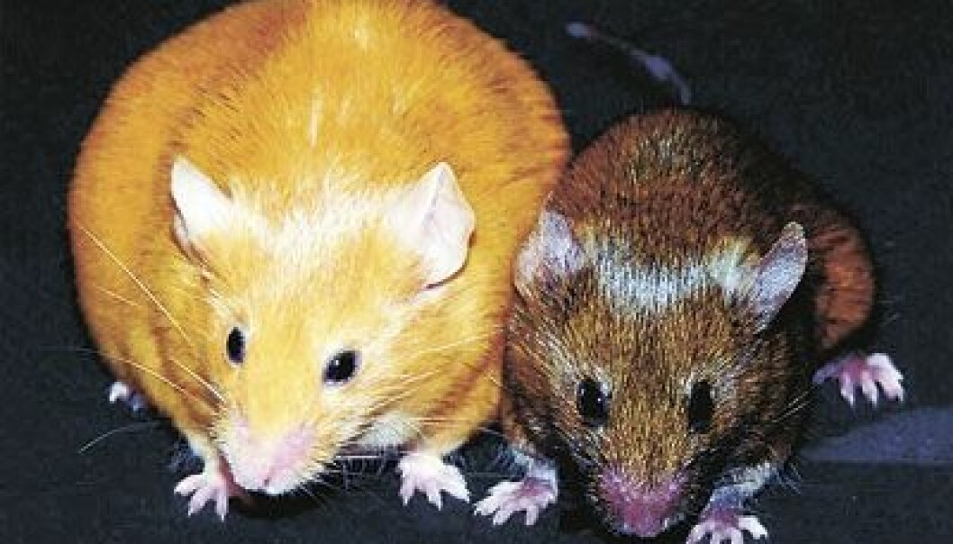 Two one-year-old, genetically identical female mice. It's clear that it makes a difference which genes are expressed from the DNA. (Photo: Dana Dolinoy, University of Michigan and Randy Jirtle, Duke University)