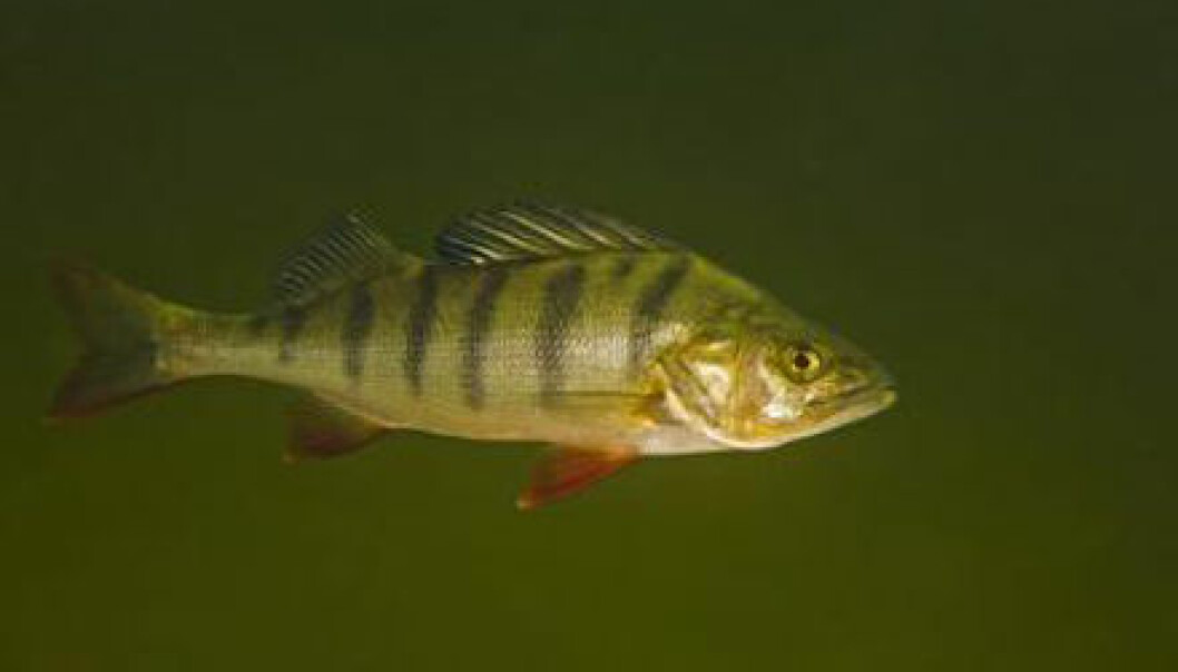 Perch that were exposed to both low and high doses of sedatives became more adventurous and gluttonous. In the long run, this could have a negative effect, not only on the ecosystem, but also in terms of how the fish will evolve. (Photo: Bent Christensen)