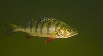 Sedatives turn fish into unsociable gluttons