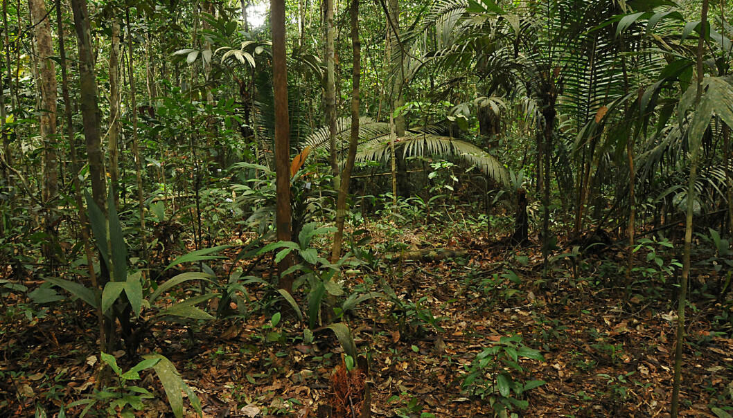 Some palms are small shrubs. Others are 60-metre tall trees. This picture, taken in a Brazilian rainforest, shows four different palm species. A new study now shows that palms are very slow at adapting to a changed climate. This is worrying because palms play a crucial role in the ecosystem. (Photo: Dennis Pedersen and Henrik Balslev)