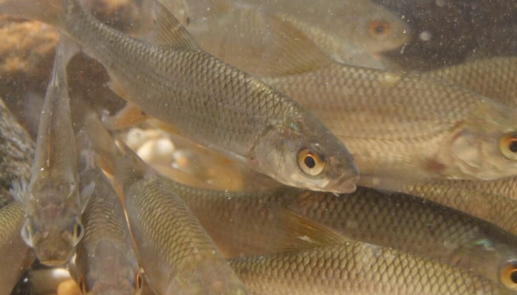 Fish that migrate to streams are less likely to be eaten by predators than fish that remain in the lake. This suggests that winter migration has been developed as an adaption against predation. (Photo: Christian Skov)