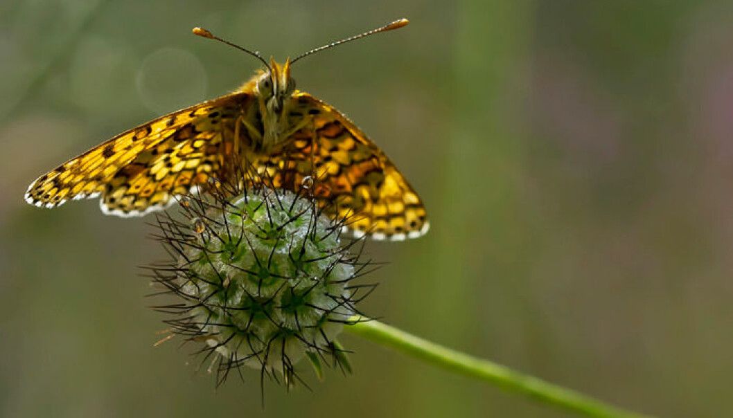 """The Glanville Fritallary """"checkerspot"""" butterfly (Melitaea cinxia). This species has adapted to a life on a small island southeast of Helsinki where winds pose the threat of unwanted migration. (Photo: Thomas Delahaye)"""