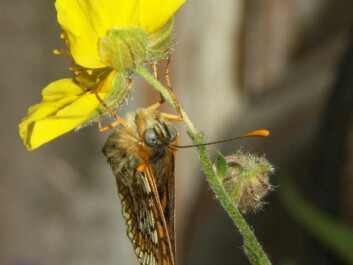 A Granville Fritallary hanging upside down from a flower. (Photo: Hannu Aarnio)