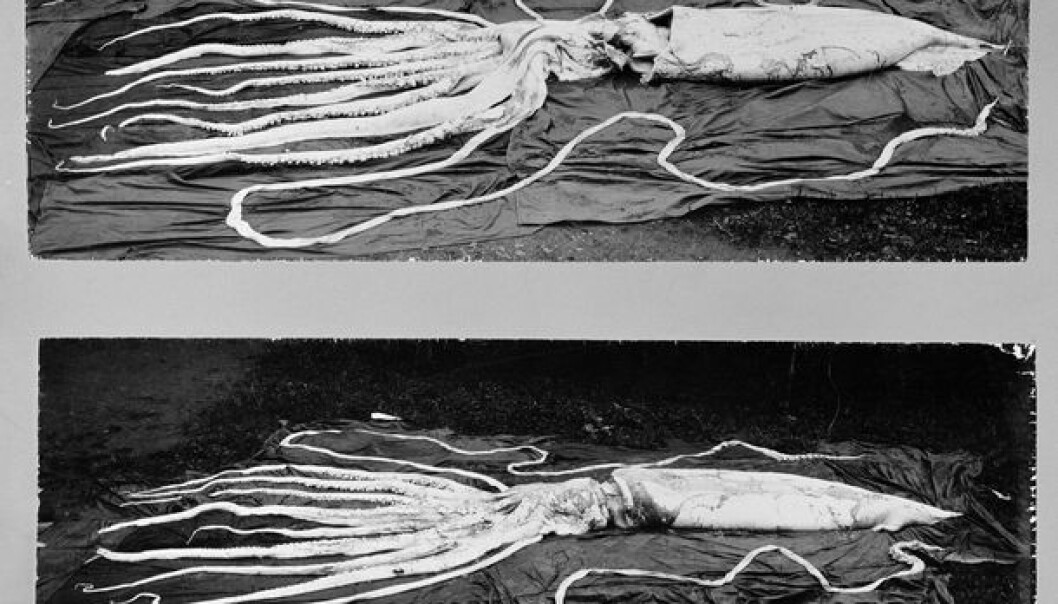 The two largest giant squids found in Norway. Arms included, one is 10 metres long and the other is 12 metres. They were found at Hemne, Sør-Trøndelag County in 1896. (Photo: NTNU Museum of Natural History and Archaeology)