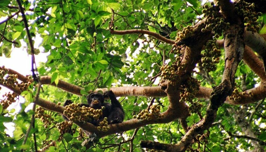 A chimpanzee gorging on figs in a tree. When chimps and other simians eat fruit, they spread the seeds in the process. When apes and monkeys vanish, in part because of being hunted as food, fruit-bearing trees are also threatened. (Photo: Drrobert/Wikimedia Creative Commons)