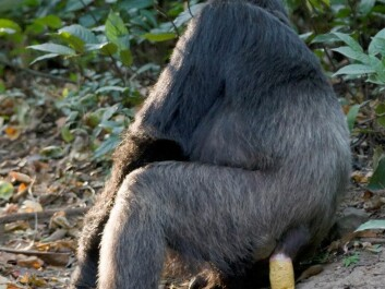 When chimpanzees and other simians relieve themselves, the seeds from their meals are often found in the dung. This is natural fertiliser which creates excellent growing conditions. (Photo: Ikiwaner/Wikimedia Creative Commons)