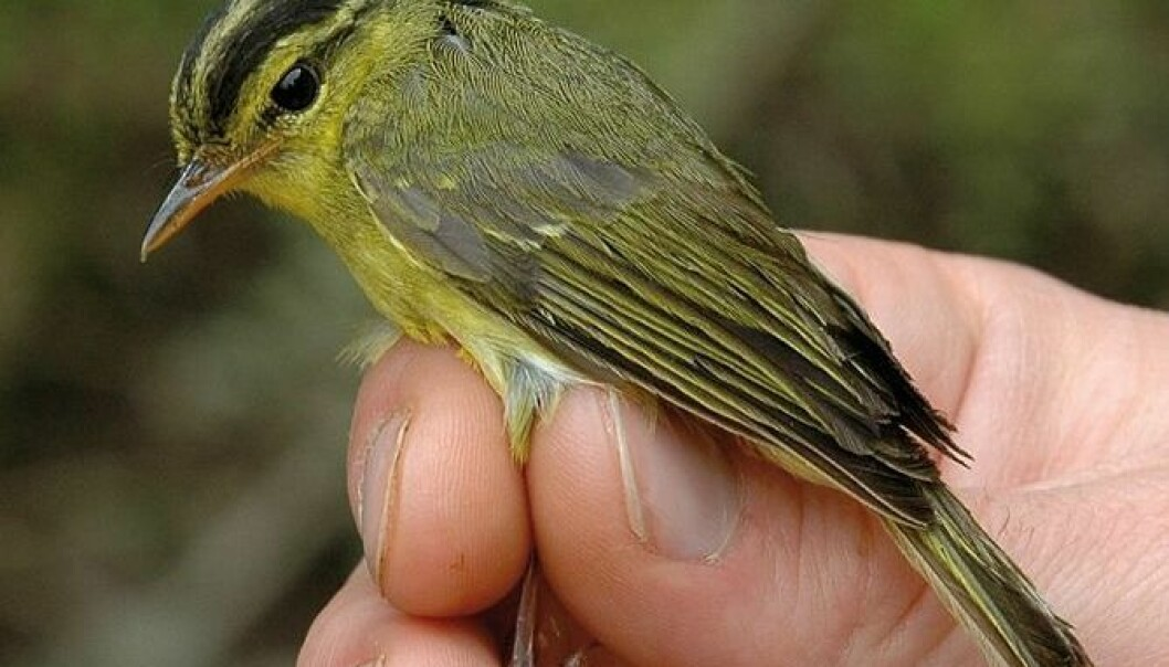 An example of a new bird species named Limestone Leaf Warbler. Closely related to the Swedish Willow Warbler. (Photo: Ulf Johansson/Museum of Natural History/cc)
