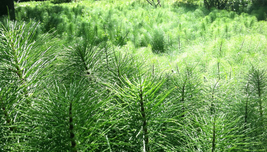 Horsetails can grow to half a metre in height and form a dense, bushy covering. (Photo: Brambleshire/Wikimedia Commons)