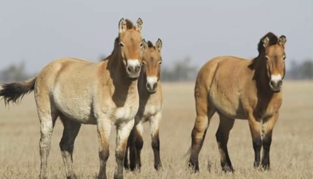Przewalski's horse, which is native to the steppes of central Asia, specifically Mongolia, is believed to be the only remaining truly wild horse (Equus ferus). (Photo: Colourbox)