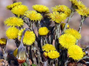 Coltsfoot grows to a height of 5–20 cm in nutritious soil and flowers from March to May. The plant flowers even before it puts out its leaves. (Photo: Andreas Trepte/Wikimedia Commons)