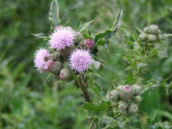 Creeping thistle grows to over a metre high, and the light purple flowers bloom between July and September (Photo: MrJones/Wikimedia Commons)
