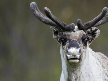 Reindeer are Northern Hemisphere inhabitants by nature. They live in the wild in Canada, Alaska, Norway, Finland, Russia, Mongolia and China, as well as Svalbard and Greenland. (Photo: Colourbox.com)