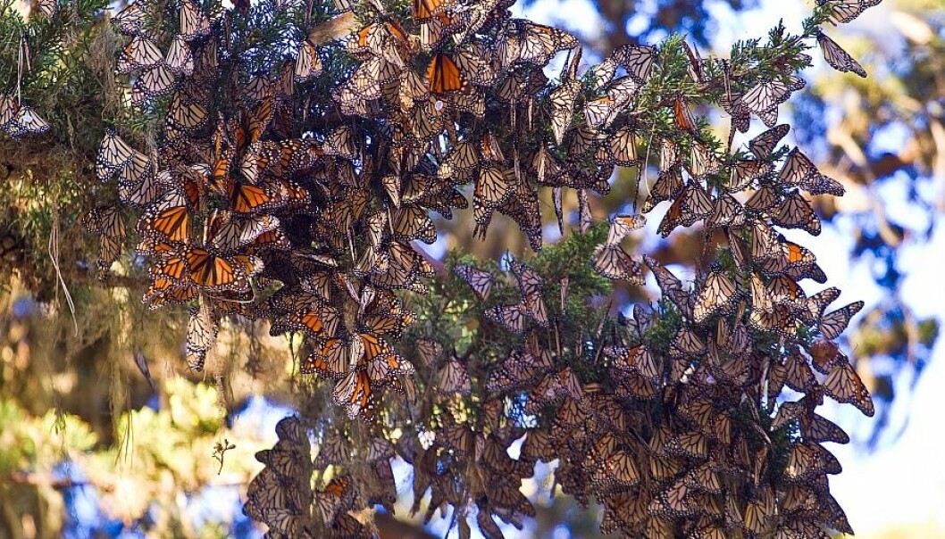 In the autumn, monarch butterflies migrate south from Canada to Mexico – a journey of no less than 3,500 kilometres. Along the way, and in Mexico, they form groups that can become dense enough to cover an entire tree. (Photo: Agunther)