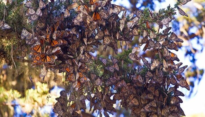Butterflies fly 3,500 km by compass