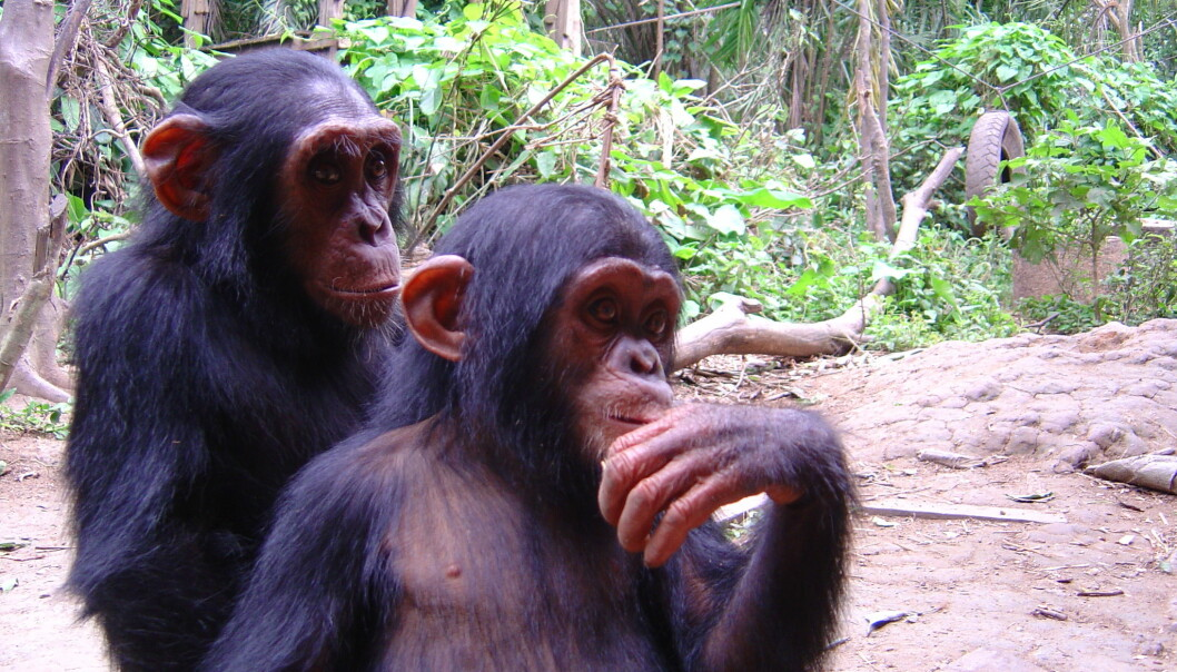 Chimpanzees playing in a reserve in Cameroon. (Photo: Christina Hvilsom)