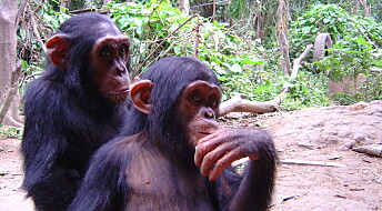 Three in four chimpanzee species live in European zoos
