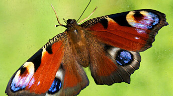 Butterfly with four eyespots spooks big predators