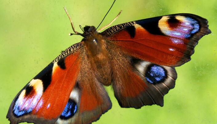 Butterfly with four eyespots spooks big predators