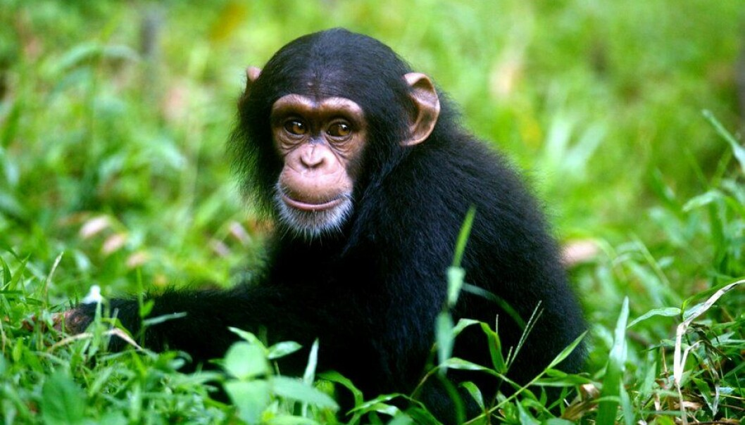 Humans are no longer the only animal capable of recalling own experiences from the past. So concludes a new study, claiming that so-called 'autobiographical memory' is present in chimpanzees and orangutans as well. (Photo: Colourbox)