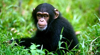 Apes can relive their past through 'mental time travel'
